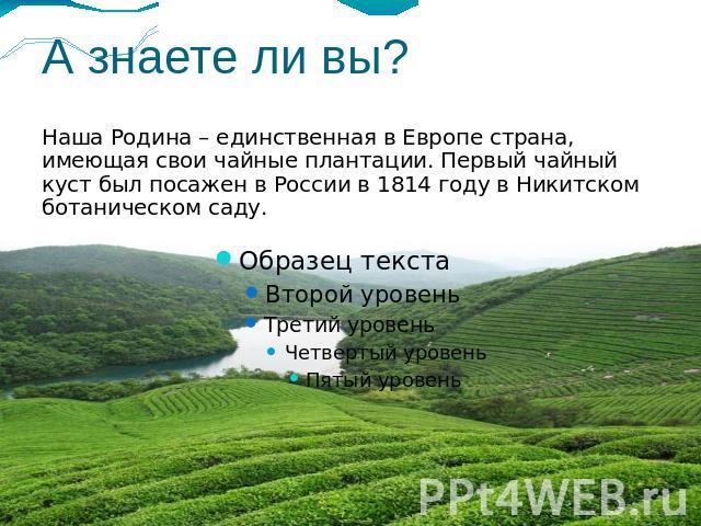 но и открыли само чайное растение - чайный куст, впервые упомянув о нём