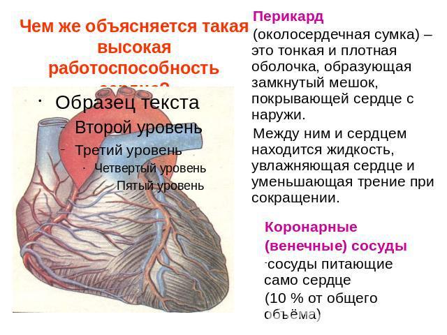 презентация на тему серце