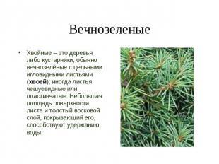 Вечнозеленые хвойные – это деревья