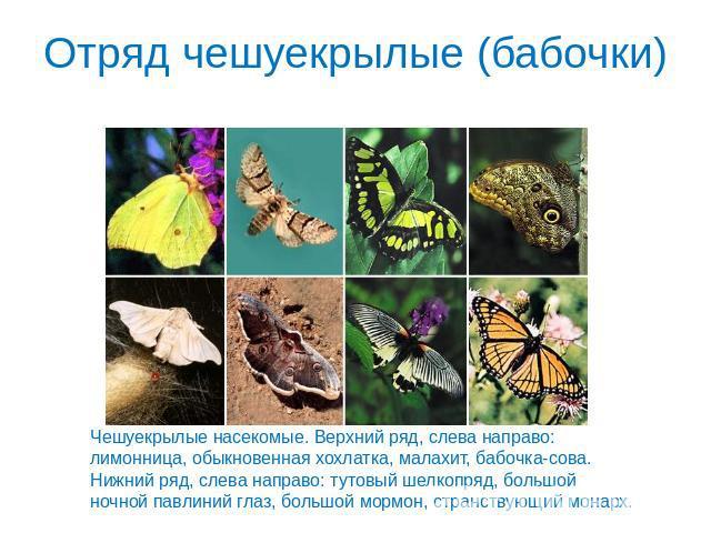 Бабочки чешуекрылые насекомые