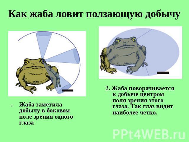 внутреннее строение лягушки в картинках