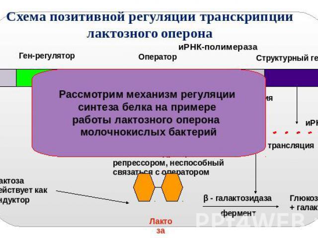 работы лактозного оперона