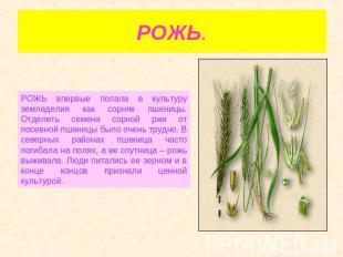 РОЖЬ. РОЖЬ впервинку попала на культуру земледелия во вкусе сорнячок пшеницы. Отделить сем