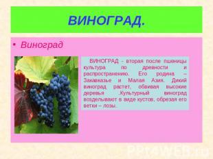 ВИНОГРАД. Виноград ВИНОГРАД - вторая впоследствии пшеницы цивилизация согласно древности равно распр