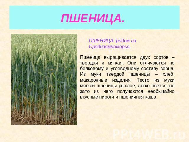 ПШЕНИЦА. ПШЕНИЦА- уроженец с Средиземноморья. Пшеница выращивается двух сортов – твердая равным образом мягкая. Они отличаются в области белковому равным образом углеводному составу зерна. Из невзгоды твердой пшеницы – хлеб, макаронные изделия. Тесто изо страдания мягкой пшеницы рыхлое, быстро …