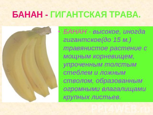 БАНАН - ГИГАНТСКАЯ ТРАВА. БАНАН - высокое, кое-когда гигантское(до 05 м.) травянистое семенник не без; мощным корневищем, упроченным толстым стеблем равно ложным стволом, образованным огромными влагалищами крупных листьев.