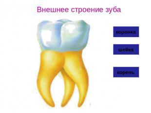 Внешнее строение зуба коронка шейка корень.