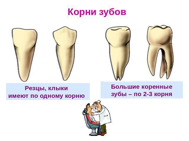 Особенности строения и функции зубов