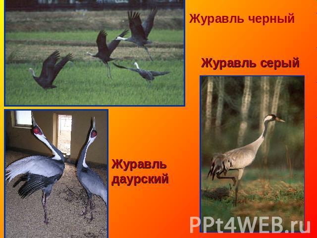 Журавль смоляной Журавль пепельный Журавль даурский