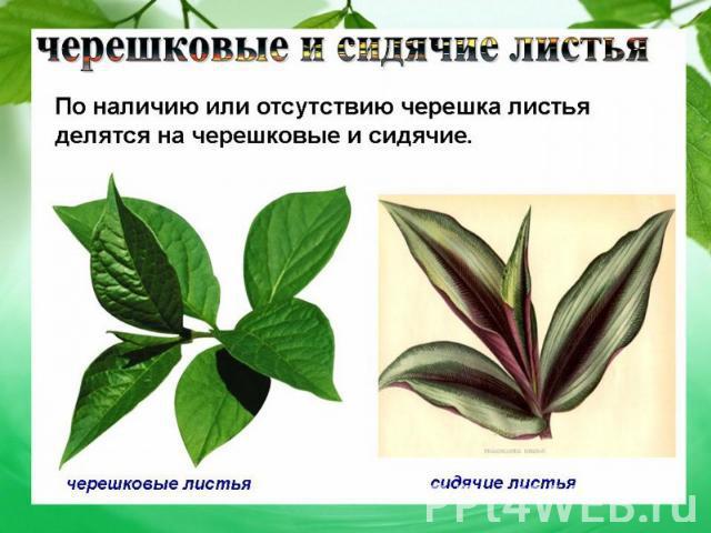 sidyachie-i-vlagalishnie-listya