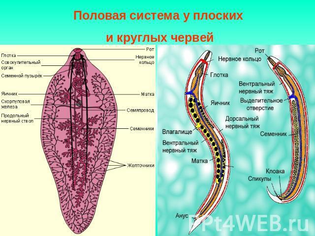 системы органов плоских червей паразитов человека