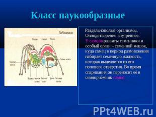 Класс паукообразные Раздельнополые организмы. Оплодотворение внутреннее. У самцо