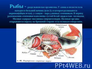 Рыбы - раздельнополые организмы. У самок на полости тела находится великий яичник