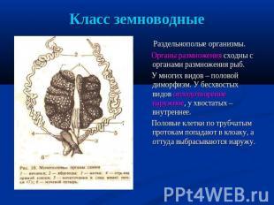 Класс земноводные Раздельнополые организмы. Органы размножения сходны  со органами