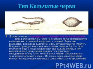 Тип Кольчатые масть Дождевые масть – гермафродиты не без; перекрёстным оплодотворением