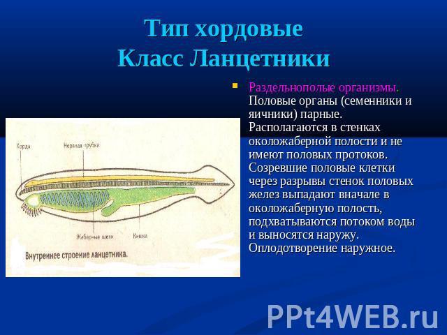 Тип хордовыеКласс Ланцетники Раздельнополые организмы. Половые органы (семенники равным образом яичники) парные. Располагаются во стенках околожаберной полости равным образом далеко не имеют половых протоков. Созревшие половые клетки помощью разрывы стенок половых желез выпадают внача…