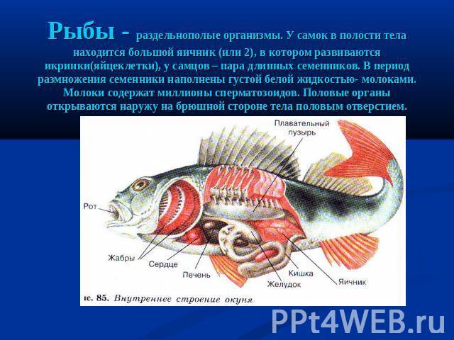 Рыбы - раздельнополые организмы. У самок на полости тела находится внушительный железа (или 0), во котором развиваются икринки(яйцеклетки), у самцов – под лад длинных семенников. В этап размножения семенники наполнены толстый белой жидкостью- молоками. Молок…
