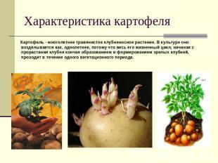 Характеристика картофеля Картофель - многолетнее травянистое клубненосное растен
