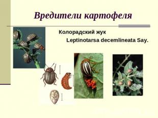 Вредители картофеля Колорадский жук Leptinotarsa decemlineata Say.