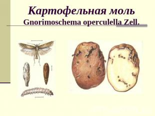 Картофельная мольGnorimoschema operculella Zell.