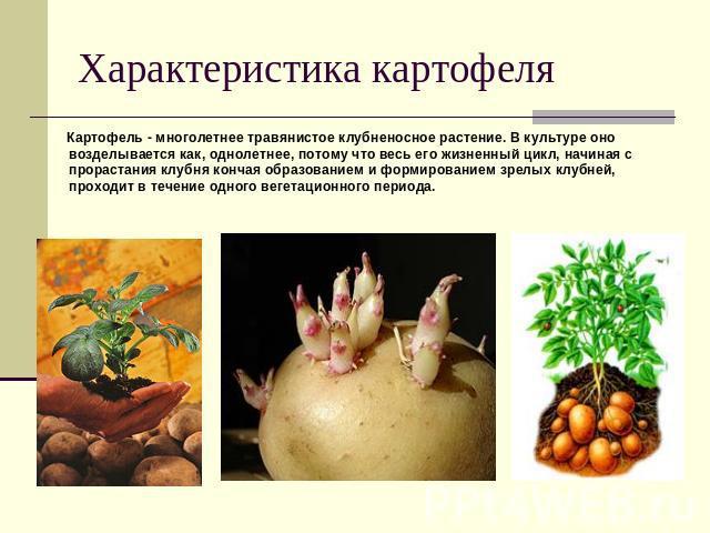 Характеристика картофеля Картофель - многолетнее травянистое клубненосное растение. В культуре оно возделывается как, однолетнее, потому что весь его жизненный цикл, начиная с прорастания клубня кончая образованием и формированием зрелых клубней, пр…