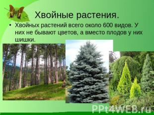 Реферат про хвойные растения 2244