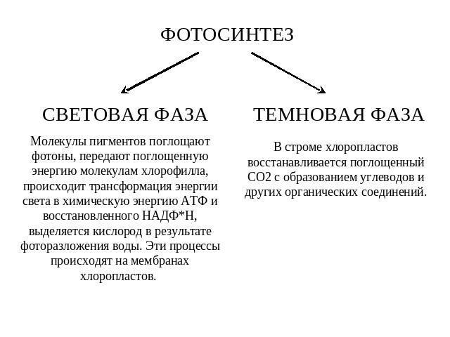 "Презентация на тему ""Световая фаза фотосинтеза"" - скачать ...: http://ppt4web.ru/biologija/svetovaja-faza-fotosinteza.html"