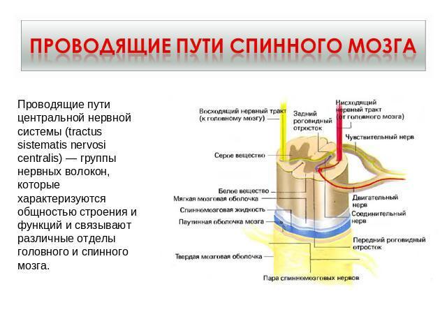 урок-презентация по теме нервная система человека