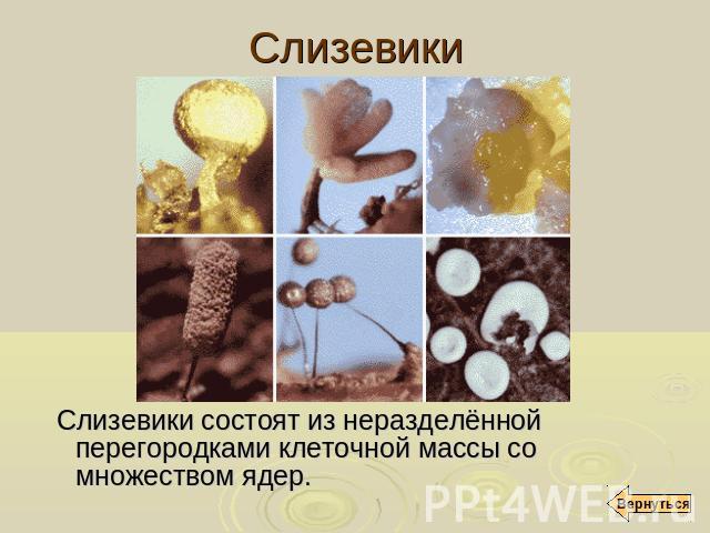Слизевики слизевики состоят из