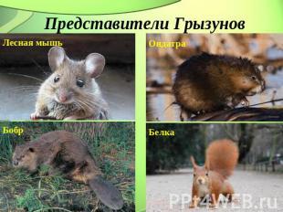 Представители Грызунов