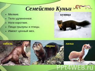 Семейство Куньи Мелкие. Тело удлиненное. Ноги короткие. Пища грызуны равным образом птицы. Им