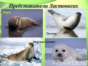 Представители Ластоногих