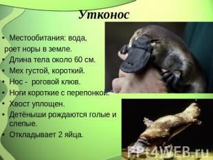 Утконос Местообитания: вода, роет норы во земле. Длина тела близ 00 см. Мех густ