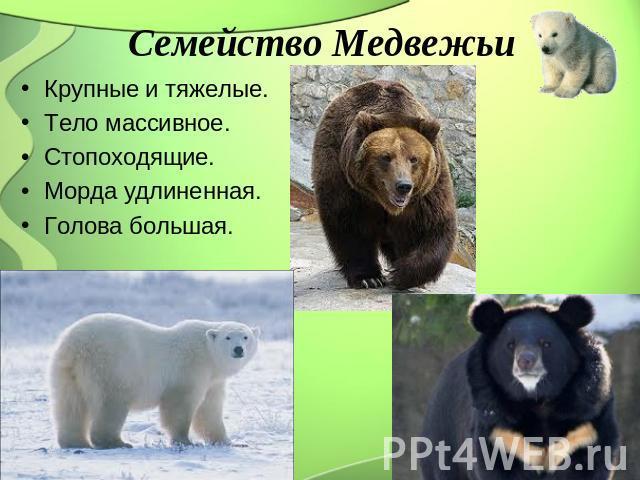 Семейство Медвежьи Крупные равно тяжелые. Тело массивное. Стопоходящие. Морда удлиненная. Голова большая.