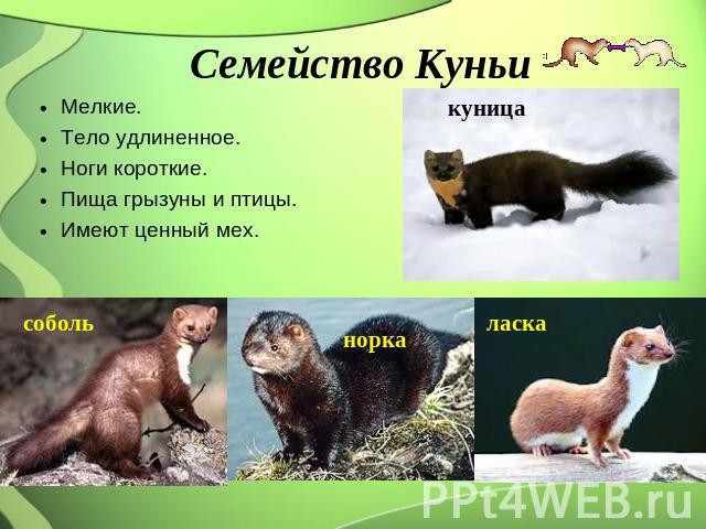 Семейство Куньи Мелкие. Тело удлиненное. Ноги короткие. Пища грызуны равно птицы. Имеют большой мех.