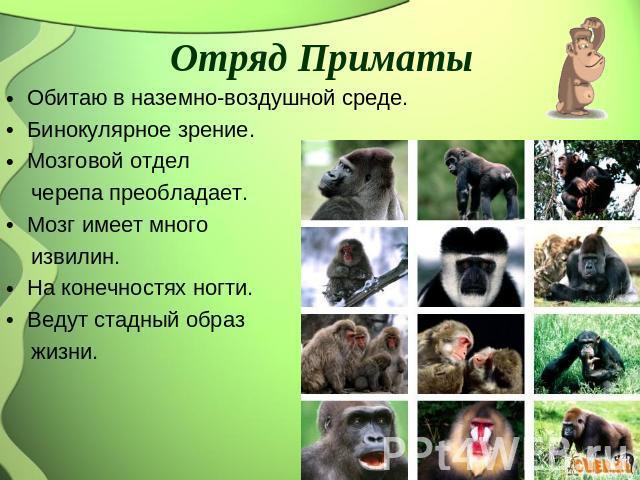 Отряд Приматы Обитаю во наземно-воздушной среде. Бинокулярное зрение. Мозговой служба черепа преобладает. Мозг имеет бесчисленно извилин. На конечностях ногти. Ведут гуртовый изображение жизни.