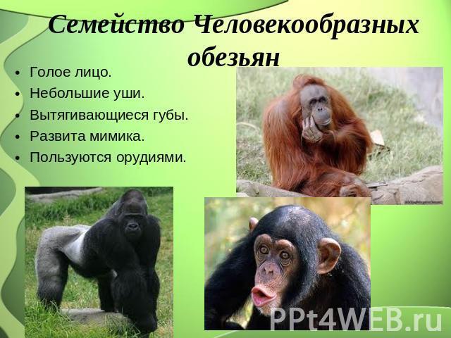 Семейство Человекообразных обезьян Голое лицо. Небольшие уши. Вытягивающиеся губы. Развита мимика. Пользуются орудиями.