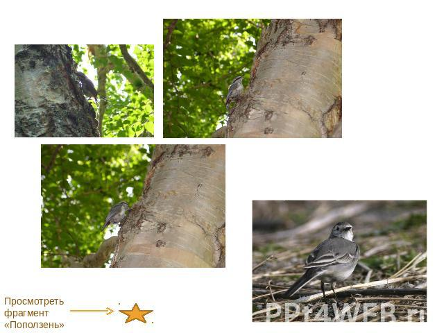 ...Камчатская белая трясогузка ( Motacilla lugens) Просмотреть фрагмент...