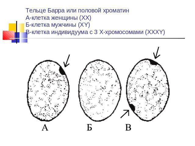 Хроматин Половой фото