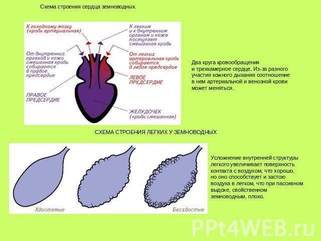 Сердце Трехкамерное фото