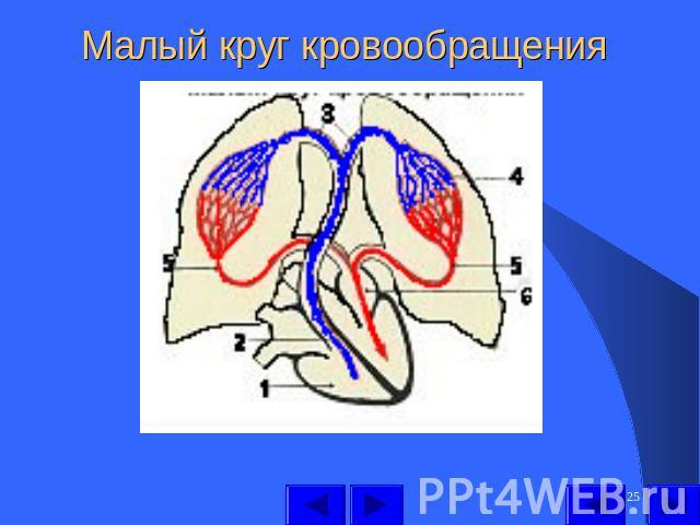 Круг Кровообращения Малый