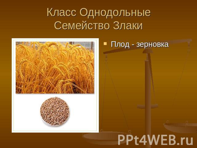 Плод зерновка характеристика