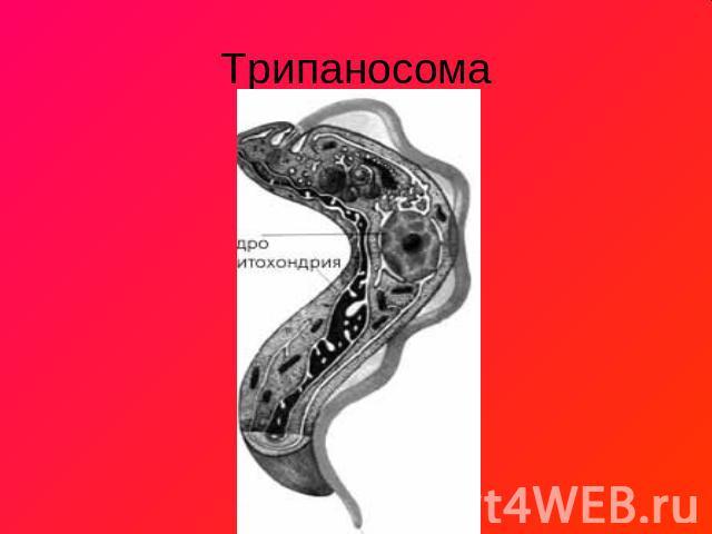 одноклеточные паразиты человека