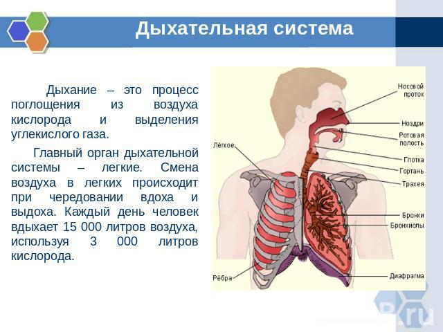 Дыхательная система Дыхание