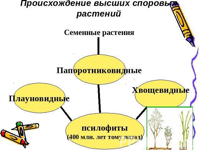 7. Общая характеристика отдела Equisetophyta хвощевидные