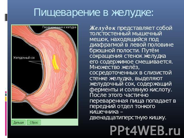 """Презентация """"Пищеварительная система человека"""""""