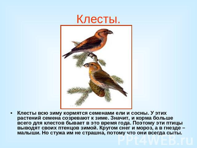 Почему птица клест перелетает на зиму в леса таежной зоны