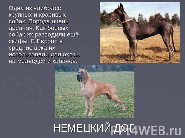 Одна из наиболее крупных и красивых собак. Порода очень древняя. Как боевых собак их разводили ещё скифы. В Европе в средние века их использовали для охоты на медведей и кабанов. НЕМЕЦКИЙ ДОГ