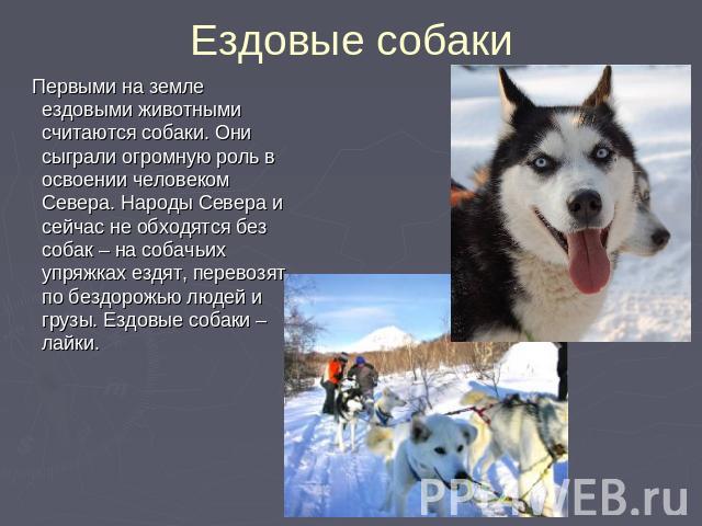 Ездовые собаки Первыми на земле ездовыми животными считаются собаки. Они сыграли огромную роль в освоении человеком Севера. Народы Севера и сейчас не обходятся без собак – на собачьих упряжках ездят, перевозят по бездорожью людей и грузы. Ездовые со…