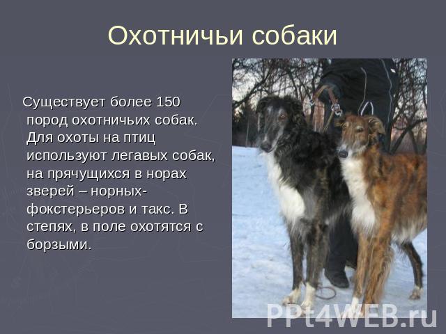 Охотничьи собаки Существует более 150 пород охотничьих собак. Для охоты на птиц используют легавых собак, на прячущихся в норах зверей – норных- фокстерьеров и такс. В степях, в поле охотятся с борзыми.